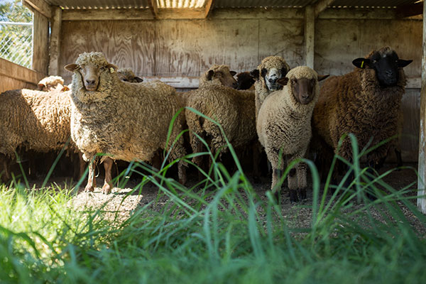 Sheep at Fiber Confections, photo by Paige Green